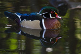 8662 Wood Duck male.jpg