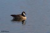 8831 Cackling Goose.jpg