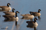 8834 Canada and Cackling Geese.jpg