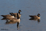 8844 Canada and Cackling Geese.jpg