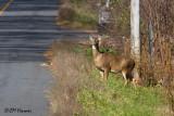 8936 White-tailed Deer.jpg