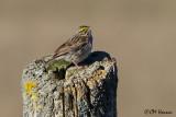 9485 Savannah Sparrow.jpg