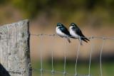 9505 Tree Swallows.jpg