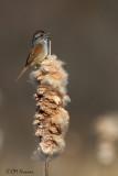 9574 Swamp Sparrow.jpg