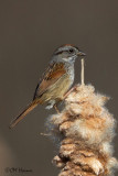 9584 Swamp Sparrow.jpg