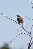 9670 Eastern Meadowlark.jpg