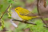 9751 Yellow Warbler.jpg