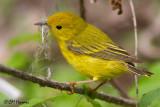 9757 Yellow Warbler.jpg