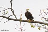9761 Bald Eagle.jpg