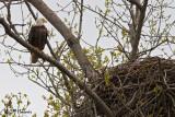 9778 Bald Eagle at nest.jpg