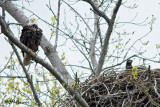 9796 Bald Eagle adult and young at nest.jpg