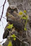 9938 Great Horned Owl fleglings.jpg