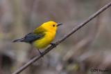 9961 Prothonotary Warbler.jpg