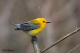 9969 Prothonotary Warbler.jpg