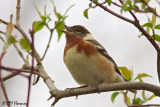 0026 Bay-breasted Warbler.jpg