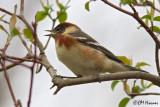 0027 Bay-breasted Warbler.jpg