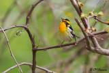 0155 Blackburnian Warbler.jpg