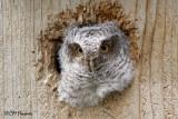 0223 Eastern Screech-Owl juvenile.jpg