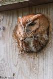 0266 Eastern Screech-Owl rufous adult.jpg