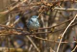 0319 Cerulean Warbler.jpg