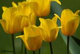 9951 Yellow Tulips.jpg