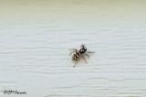 0086 Zebra Jumper