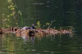 0106 Common Loon on nest.jpg