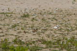 0198 Piping Plover adult male and young.jpg