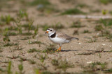 0219 Piping Plover adult female.jpg