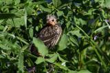 0403 Red-winged Blackbird juvenile.jpg