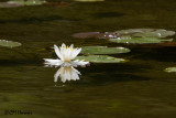 0477 Water Lily.jpg