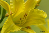 0494 Yellow Day Lily.jpg