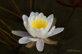 0509 Water Lily .jpg