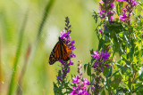 0534 Monarch on Lustrife with spider web.jpg