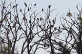 0543 Double-crested Cormorants.jpg