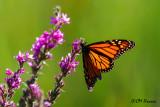 0544 Monarch on Purple Lustrife.jpg