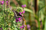 0560 Black Swallowtail.jpg