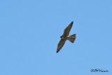 0673 Peregrine Falcon.jpg