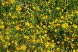 0719 Beggarticks or Bur-marigolds.jpg