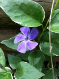Vinca is blooming!