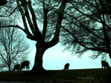 Deer on Hill