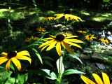 Black-eyed Susans in Sun and shadow.
