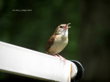 First Flight for New Baby Wrens