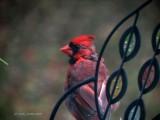 Cardinal outside Window