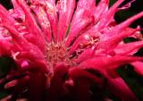Bee Balm Closeup