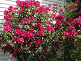 Rododendron 1