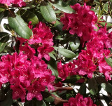Rododendron 3