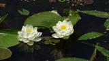 Water Lily Brick Pond 2