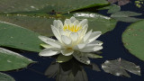 Water Lily Brick Pond 3