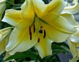 Large Lily 2